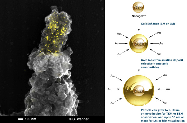 [Combined Fluorescence and SEM Labeling, and Gold Enhancement (76k)]