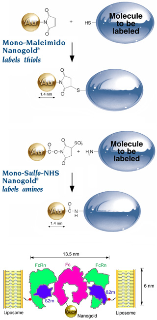 [Nanogold labeling reagents and structure of Nanogold-Fc-FcRn liposomes (81k)]