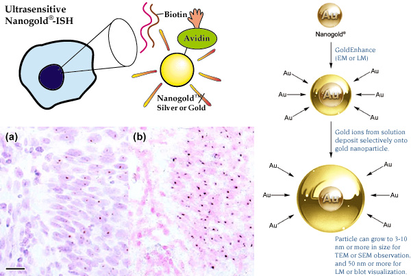[Nanogold in situ hybridization, comparison of results with DAB, and mechanism of gold enhancement (105k)]