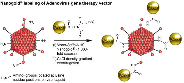 [Labeling of adenovirus capsid at lysine residues with Mono-Sulfo-NHS-Nanogold (69k)]