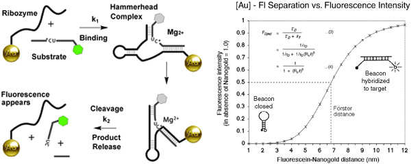 [The Hammerhead Ribozyme beacon, and Frster Energy Transfer for Fluorescein and Nanogold (54k)]