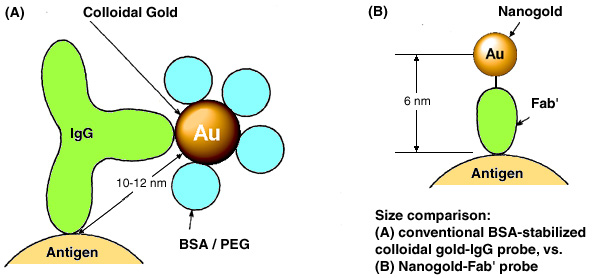 [Nanogold-Fab' vs. colloidal gold-IgG: resolution (61k)]