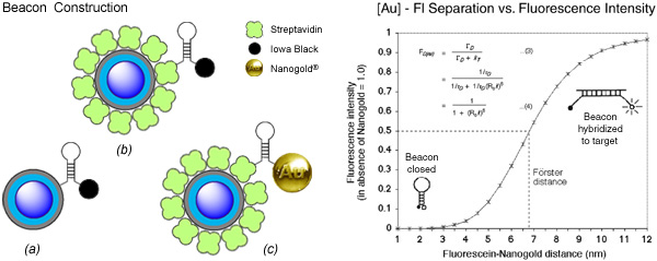 [Quantum dot beacon linkage strategies, and fluorescence quenching with Nanogold (61k)]