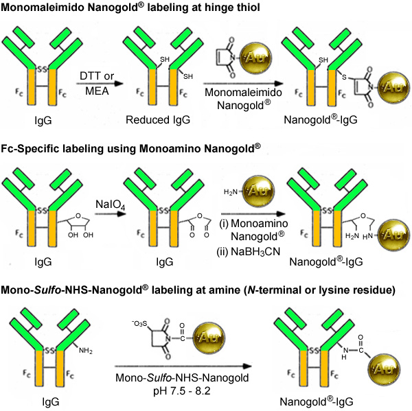 [Synthetic strategies for IgG labeling with Nanogold (152k)]