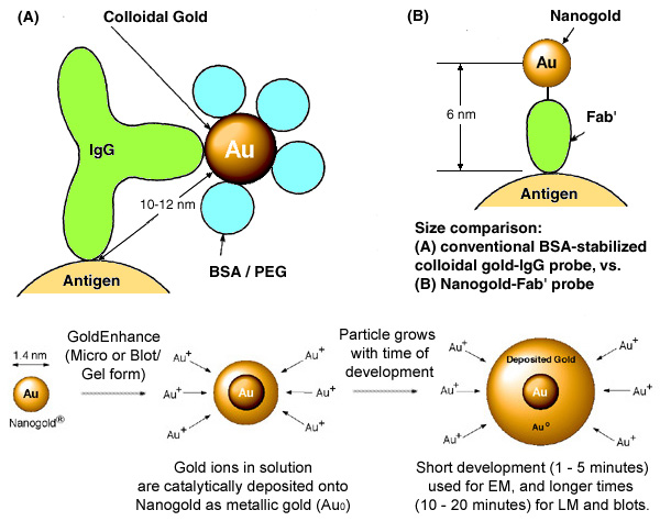 [Nanogold-Fab' vs. Colloidal gold-IgG, and GoldEnhance (92k)]