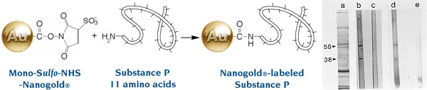 [Nanogold labeling of Substance P (39k)]