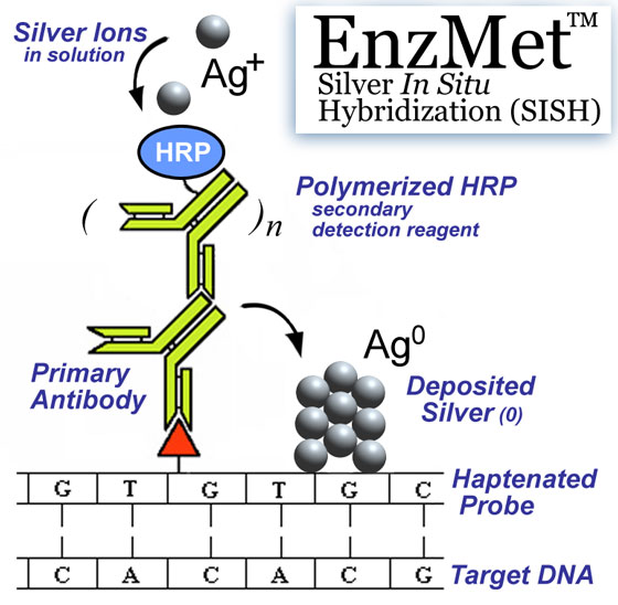 The mechanism behind EnzMet Silver In Situ Hybridization