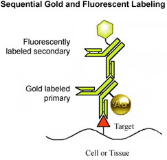 [Sequential larger gold and fluorescent labeling (26k)]